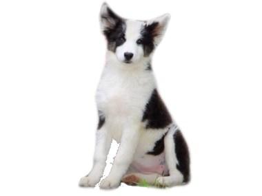Продажа щенков Якутской лайки