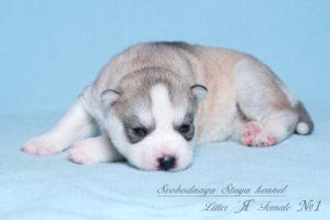 Husky puppies Angel-Pandora_1