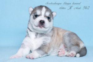 Husky puppies Angel-Pandora_2