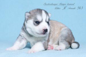 Husky puppies Angel-Pandora_3
