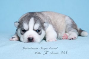 Husky puppies Angel-Pandora_3