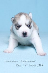 Husky puppies Angel-Pandora_4
