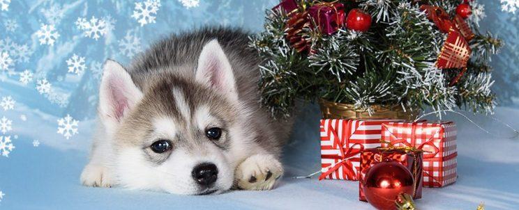 Вы можете зарезервировать у нас щенка Сибирских хаски из имеющегося или будущих помётов, внеся резервную сумму в форму оплаты ниже или на банковский счет заводчика. Таким образом, у вас будет преимущество при выборе понравившегося щенка из помёта.