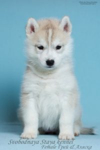Siberian husky famale