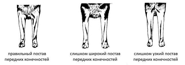 Передние лапы Сибирских хаски