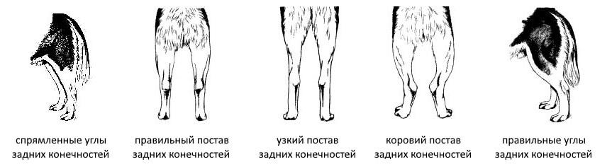 Задние лапы Сибирских хаски