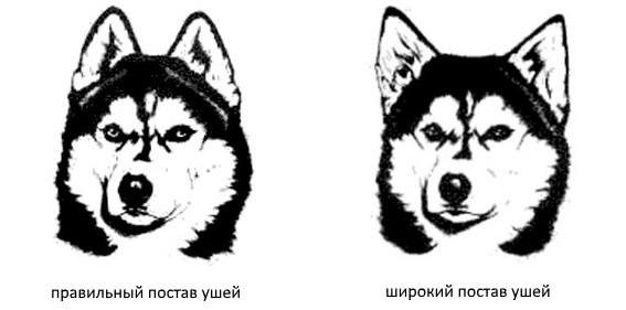 Постав ушей у Сибирских хаски