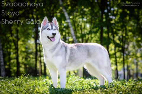 SVOBODNAYA-STAYA-SHERRI-GOLD