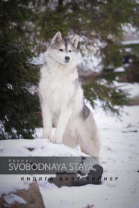 Male husky - SVOBODNAYA STAYA INDIGO WHITE WINNER
