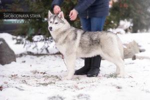Male husky - SVOBODNAYA STAYA OLIMPUS