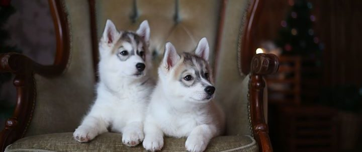 Продажа щенков Сибирских хаски