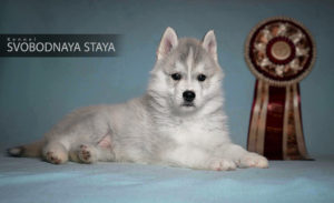Siberian husky puppy - male
