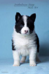 Yakutian laika male puppy 4 1