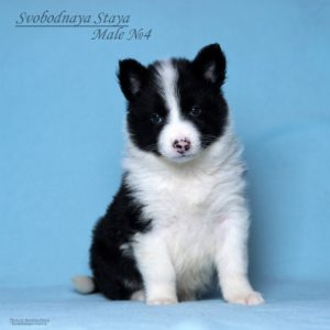 Yakutian laika male puppy 4 3