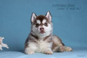 husky puppy male for sale