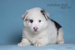 Yakutian Laika puppy Eridan 1