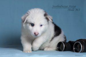 Yakutian Laika puppy Eridan 2