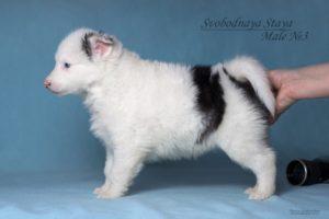 Yakutian Laika puppy Eridan 3