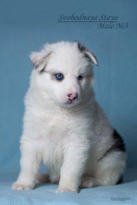 Yakutian Laika puppy Eridan 4
